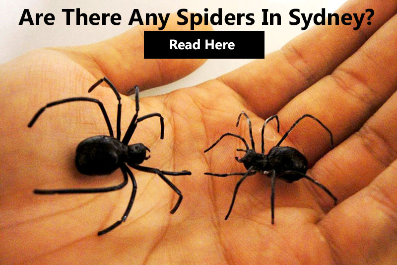 are-there-any-spiders-in-sydney