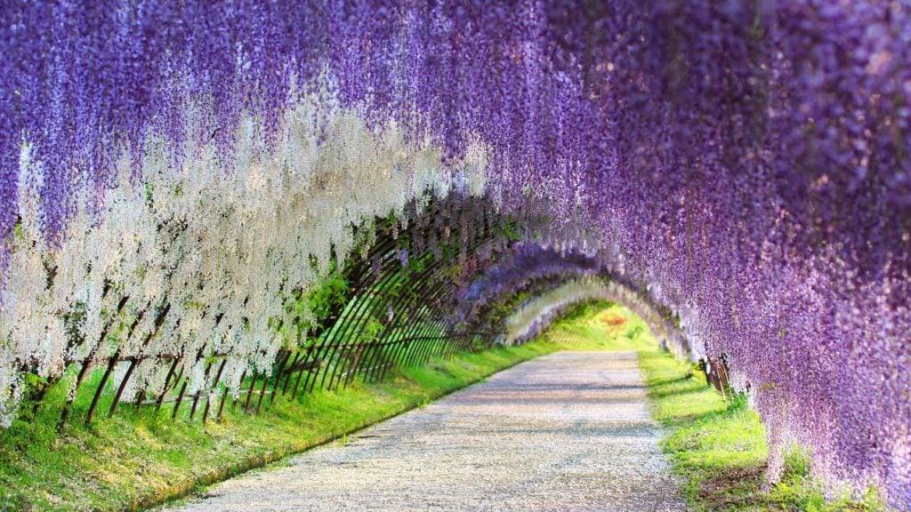 wisteria-tunnel-japan