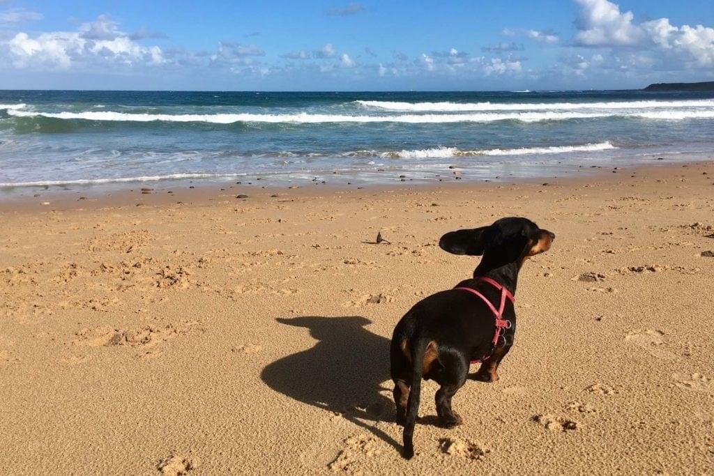 can-I-take-my-dog-to-australia