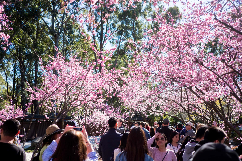 cherry-blossom-auburn