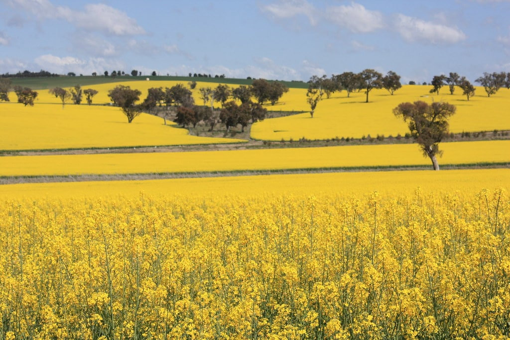 Binnalong-canola-fields