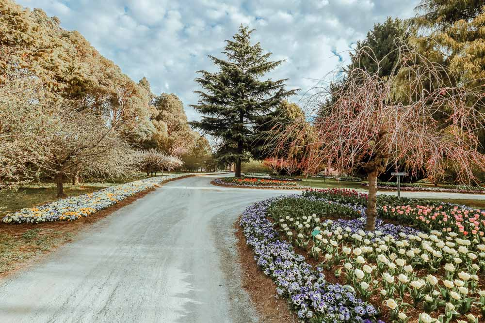 Tulip-tops-garden-canberra