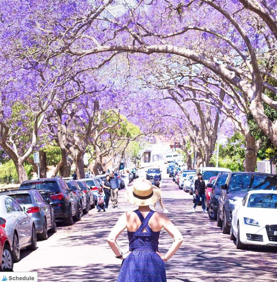 jacaranda-trees-in-sydney