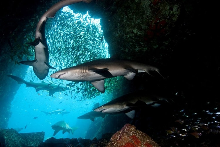 Fish-Rock-Cave-Sharks-south-west-rocks-diving
