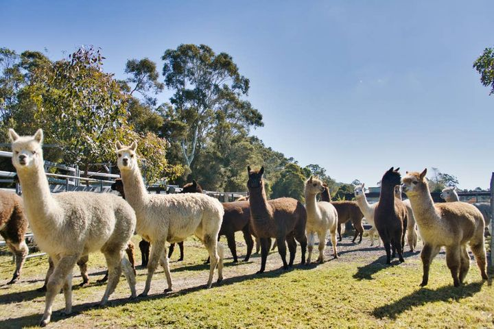 breakfast-with-llamas-in-sydney